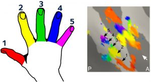 hands-sections-of-brain